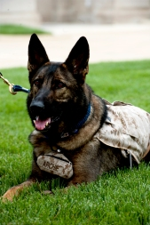 Archie is a member of the Warrior Transition Brigade Service Dog Training Program which was created to meet the needs of service members and veterans with psychological and physical injuries